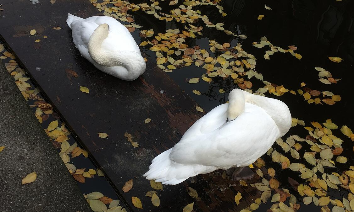 Swans during an Amsterdam autumn