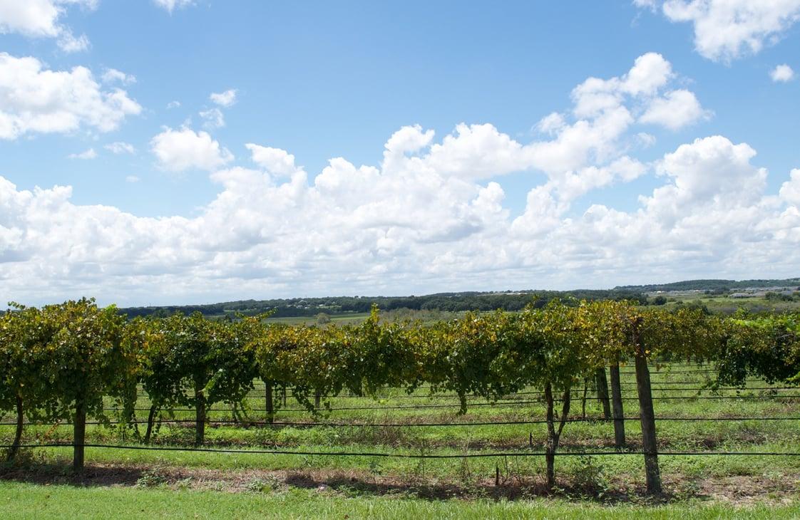 Lakeridge Winery vineyards in Clermont, Florida
